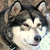 What is the Difference Between a Siberian Husky and an Alaskan Malamute?