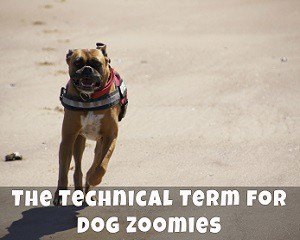 The Technical Term for Dog Zoomies