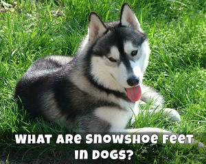 What are Snowshoe Feet in Dogs?