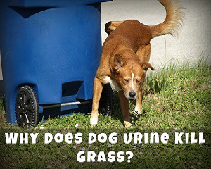 Why Does Dog Urine Kill Grass?
