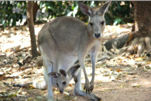 Kangaroos are altricial