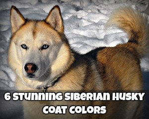 Siberian Husky Coat Colors