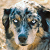 7 Surprising Facts About Australian Shepherds