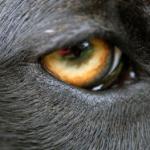 dog sense of vision