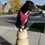 dog sense of equilibrium