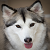 Six Stunning Siberian Husky Coat Colors