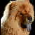 The Tongue of the Chow Chow