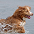 The Hunting Technique of the Nova Scotia Duck Tolling Retriever