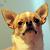 Understanding the Chihuahua's Molera