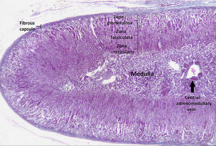 adrenal cortex wikipedia public domain