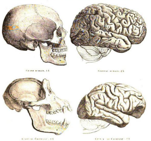Humans versus chimp skull