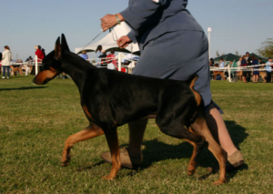 A Doberman trotting