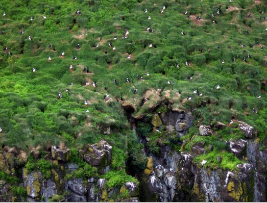 Puffins over cliffs.