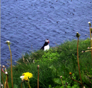 Puffins are now protected species.