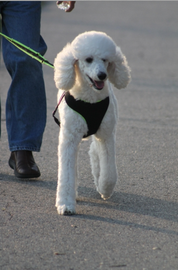 A harness is better than a collar.