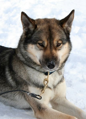 Six Stunning Siberian Husky Coat Colors Daily Dog Discoveries