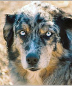 blue eyes Australian shepherd