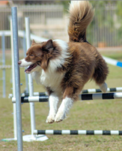 dog agility role of tail