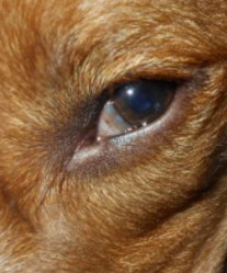 Dogs Third Eyes Showing