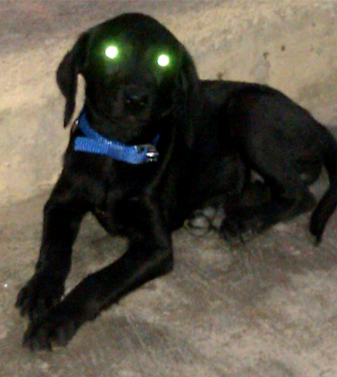 Yellow Reflection In Dogs Eye