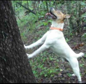 Feist treeing
