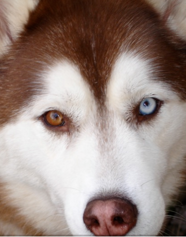Dog Breeds With Different Colored Eyes