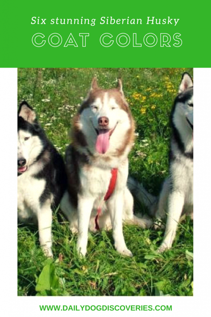 Six Stunning Siberian Husky Coat Colors - Daily Dog Discoveries