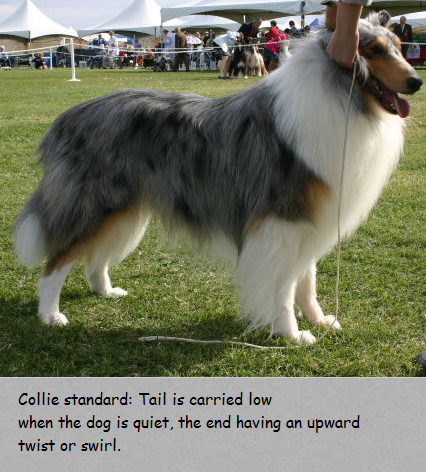 collie tail