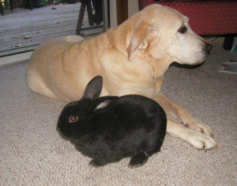 dog bunny hops when running