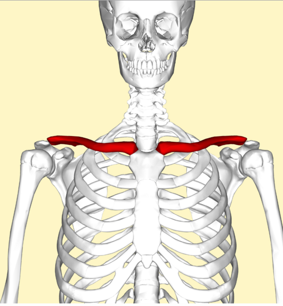 do dogs have a collarbone? - daily dog discoveries, Skeleton