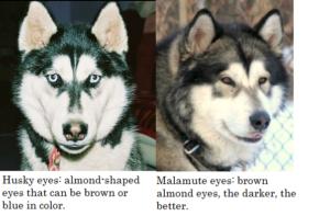 husky versus malamute eyes