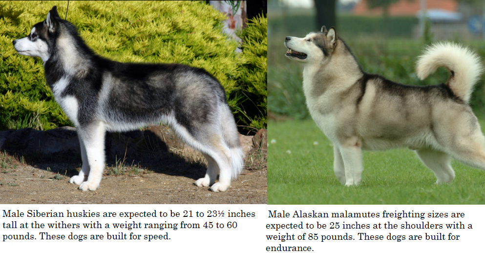 Husky Dogs Breeds Differences