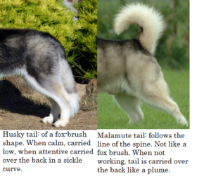 husky vs malamute tail