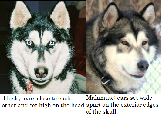 Husky Versus Malamute Daily Dog Discoveries