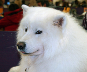 samoyed smiling