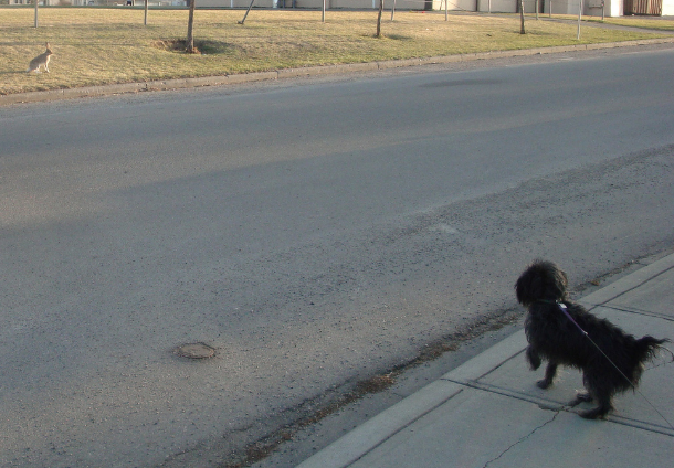Dog on retractable leash spots a bunny across the road.