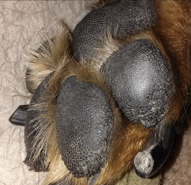 Close-up of paw, notice the smoother center and more prominent papillae on the edge of the toes.