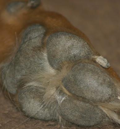 dog paw pad care