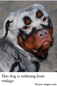 Rottweiler puppy has white hair