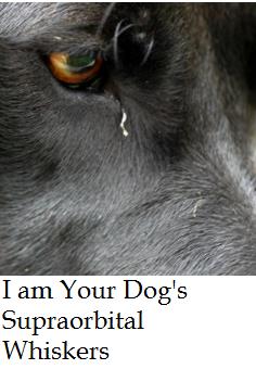 dog whiskers eye