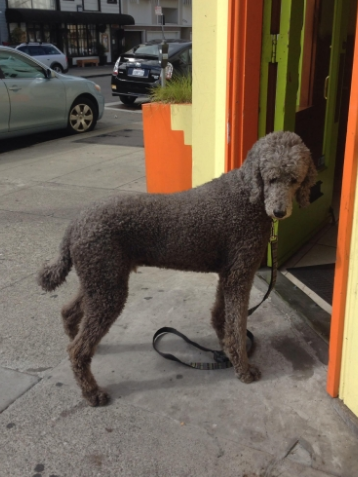 poodle stay