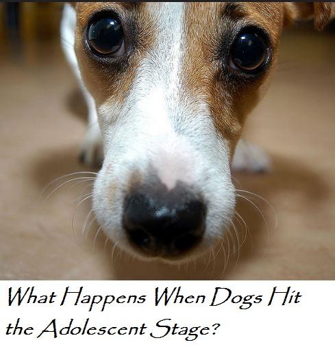 dog adolescence