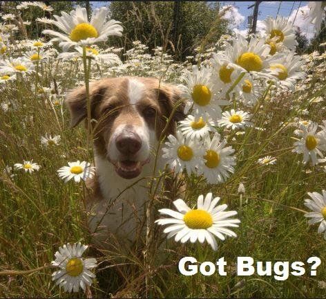 dog bug