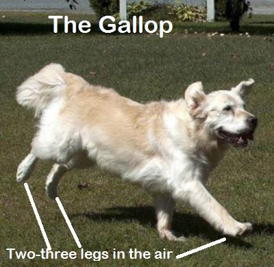 dog gallop gait