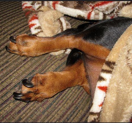dog long nails