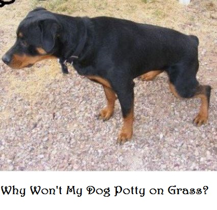 dog pottying grass