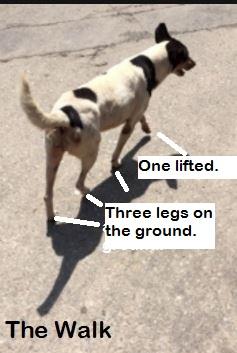 dog walking gait