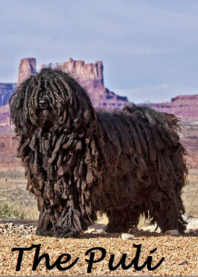 Dog Breed White Dreadlocks