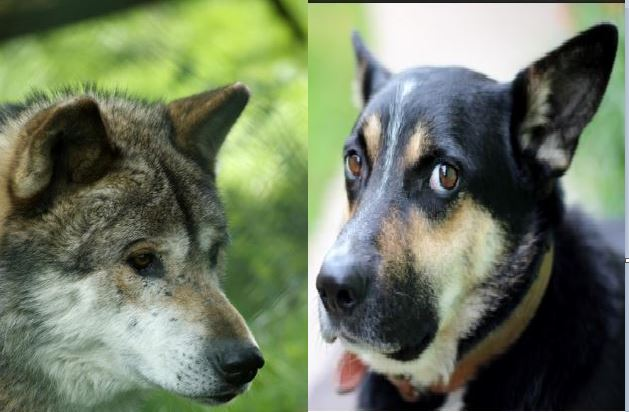 Wolf Eyes Compared To Dog Eyes