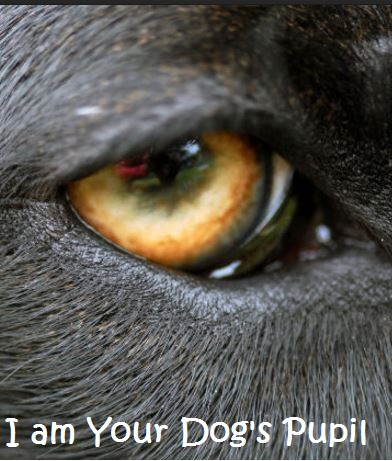 dog pupil